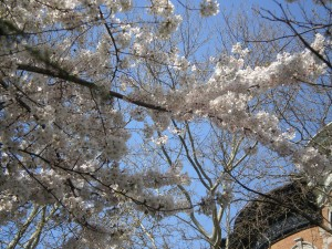 white blossoms -- it is spring!